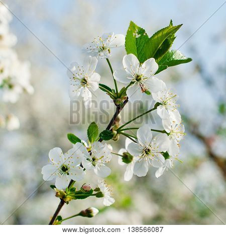 Branch of a blossoming cherry tree with beautiful white flowers.