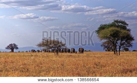 Big African Bush Elephant Herd in Tarangire Tanzania
