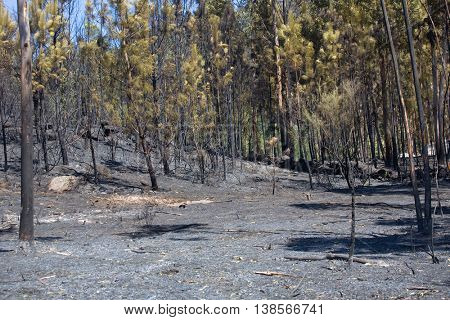 Burned forest after a huge fire in the north of Portugal