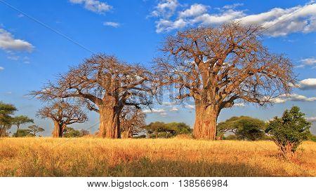 Amazing Baobab Tree line with blue sky