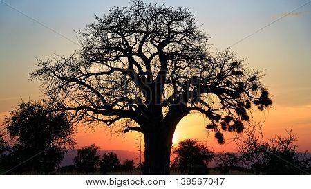 Silhouette of Baobab Tree against sunset in Tarangire, Tanzania