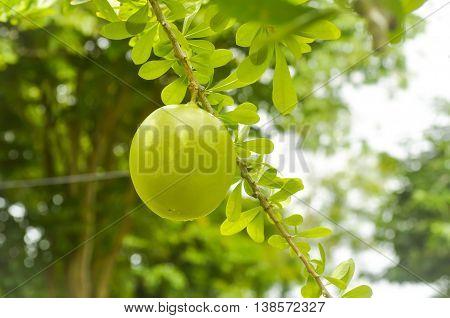 branch of Cerbera odollam Gaertn plant in the garden