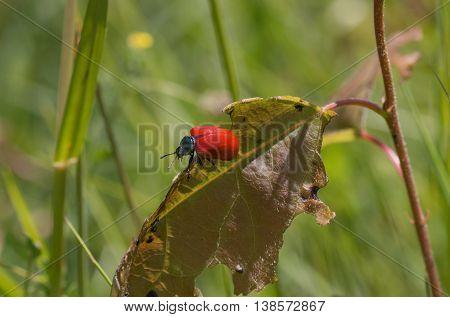 leaf beetle - chrysomela populi - on a nibbled leaf