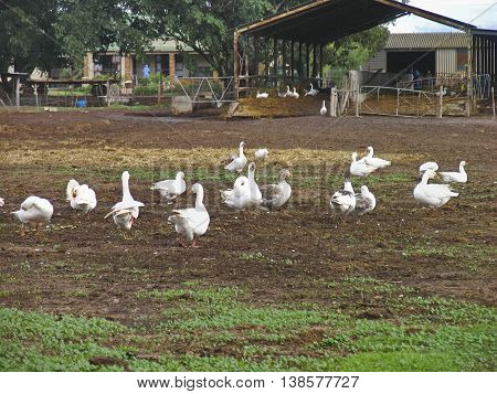 Farm, Geese, Paarl, Cape Town South Africa 01