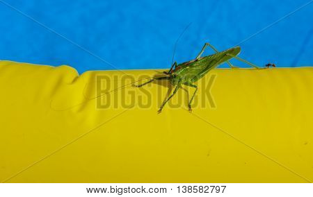 Green locust on the edge of the children's pool.
