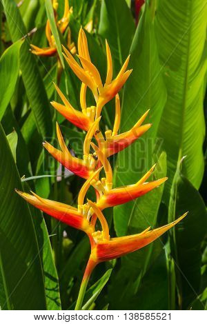 The Heliconia Lobster-claws Flower in the garden