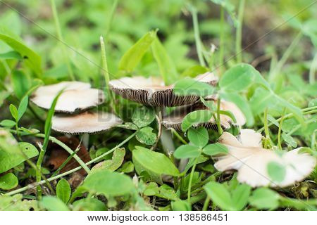 Small Mushroom Pale Toadstool in green grass
