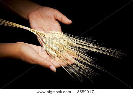 Hands together with which are offering ears of wheat