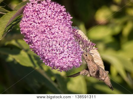 Anna's Hummingbird in Flight, Purple Flowers, Color Image, Day