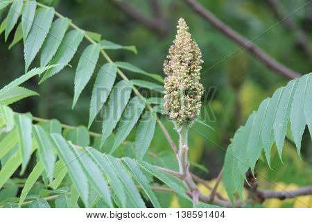 Staghorn Sumac (Rhus typhina) in a stage of flowering, along a country roadway in Kingston, Ontario Canada