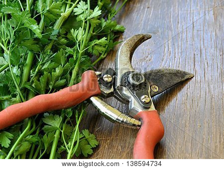 Hand shears and fresh herbs on the table