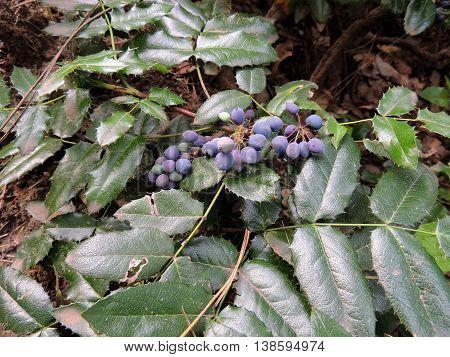Oregon Grape (Mahonia aquifolia) with blue berries