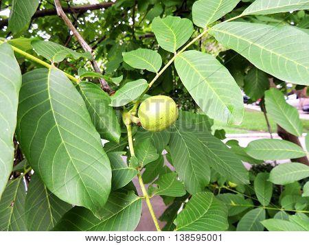 Immature fruits of walnut (Juglans regia) on branch