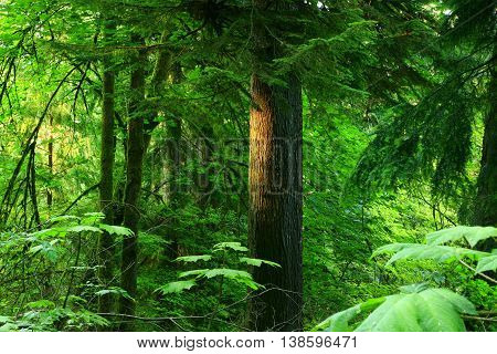 a picture of an exterior Pacific Northwest forest with a mature Hemlock tree