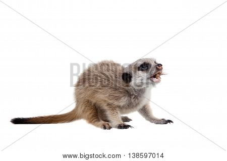 The meerkat or suricate cub, Suricata suricatta, isolated on white