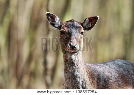 Close portrait of a wild deer in the forest
