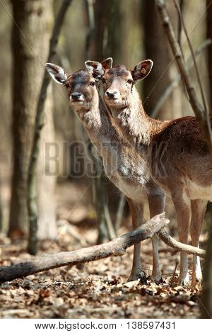 Two beautiful deer in the autumn forest