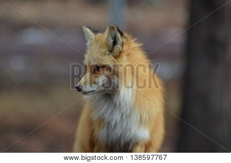 Beautiful red fox looking down with a pointy nose