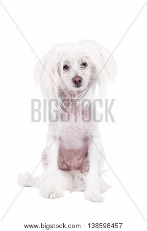 Chinese crested dog isolated on white background