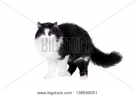 Black and white cat on white isolated background.