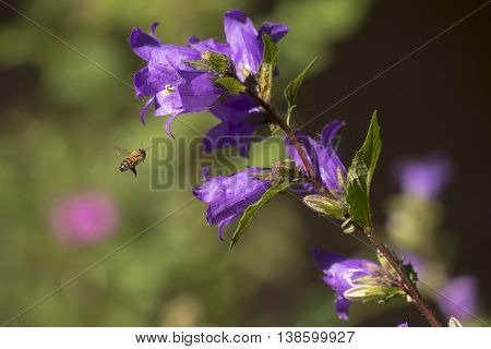 Nettle-leaved Bellflower (Campanula trachelium) visited by an European Honeybee (Apis mellifera) growing alongside a Town Canal