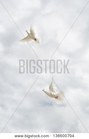Two beautiful white doves on sky background