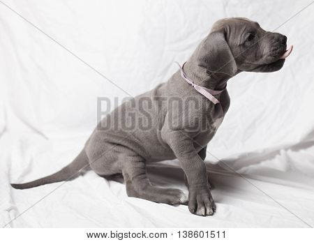 Grey purebred Great Dane puppy that has its tongue out