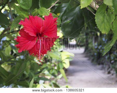 Hibiscus Fukugi Namiki of Bise Okinawa Motobu