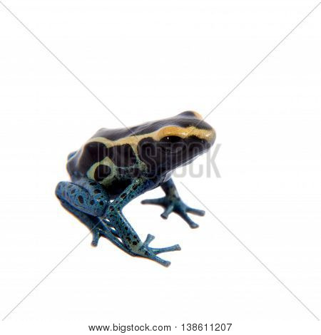 Awarape Blue Dyeing Poison Dart Frogling, Dendrobates tinctorius, on white background.