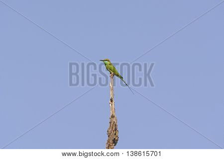 Green Bee-eater in a tree in Kanha National Park in India