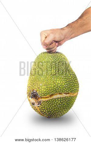 Man hand holding crack peel jackfruit isolated on white with shadow
