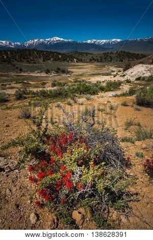 Wild Flowers Near California Hot Springs Bridgeport Ca Usa