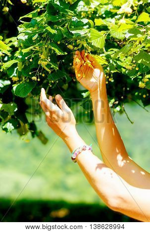 Gentle Prayer To A Beautiful Linden Tree On Bright Midsummer Day.
