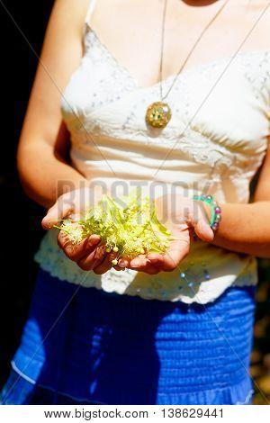 Girls Hands With Handful Of Healing Linden Tree Flowers.