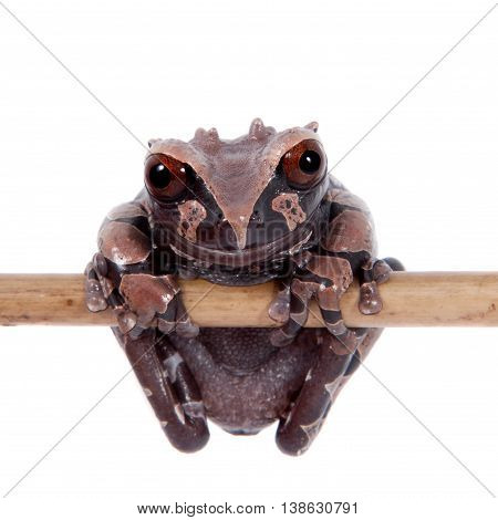 The spiny-headed tree frog, Anotheca spinosa, isolated on white