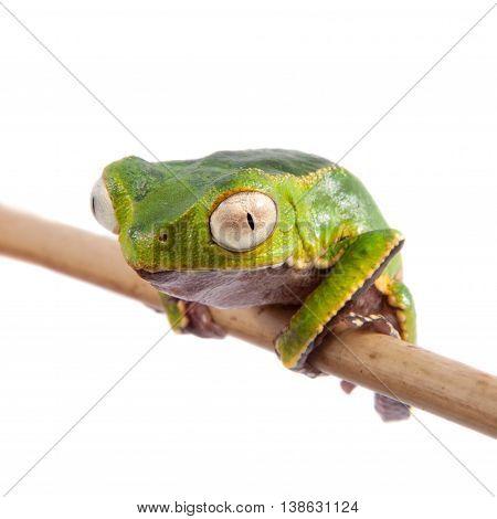 The white-lined leaf frog, Phyllomedusa vaillantii, isolated on white background