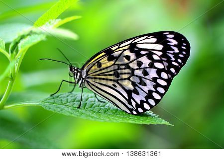 The Paper Kite Rice Paper or Large Tree Nymph butterfly (Idea leuconoe)