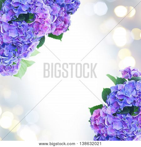 blue and violet hortensia flowers frame on fancy bokeh background