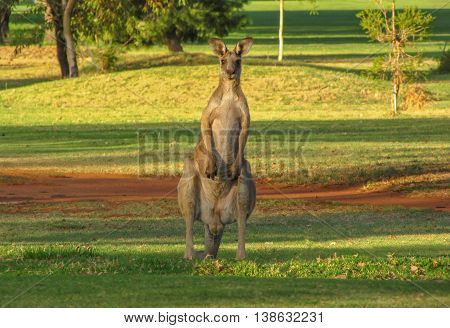 Large male Eastern Grey kangaroo upright looking at camera