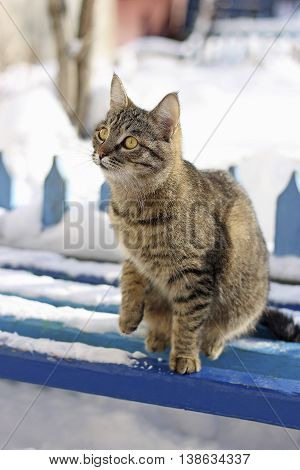 Adult tabby cat sitting in the winter on a snowy bench on the background of an old wooden fence.