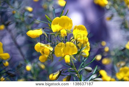 Yellow flowers of the Australian native Large Wedge Pea (Gompholobium grandiflorum), Sydney, Australia
