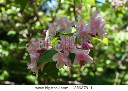 Branch with beautiful inflorescence of pink flowers and buds on a background of green bushes