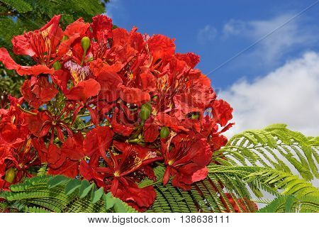 unusually large inflorescence by scarlet color of mediterranean acacia against the blue sky