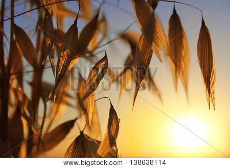 agricultural background, spikelets of oats at sunset