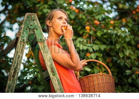 Pretty, young woman picking apricots lit by warm summer evening light (shallow DOF; color toned image)