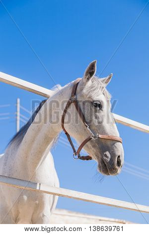 White horse on blue sky background. Beautiful domestic animal in sunny day.
