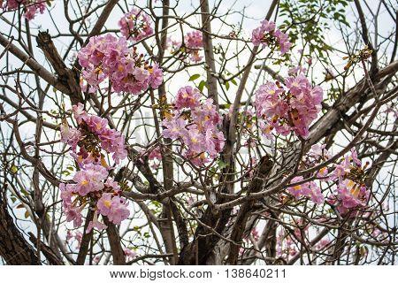 Pind tecoma Pink trumpet tree Rosy trumpet-tree