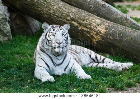 The white tiger lying on the grass