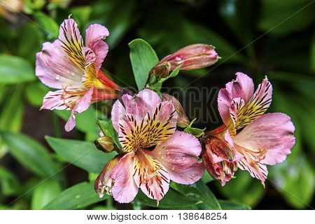Clusters of Pink Alstromeria flowers in a garden.