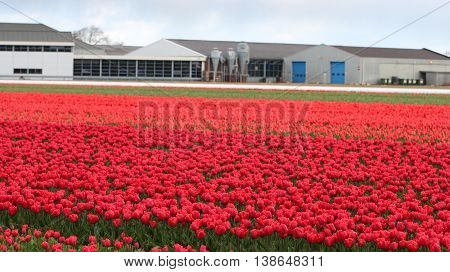 Tulip Farm in Netherlands. Rows of red tulips in Dutch countryside.